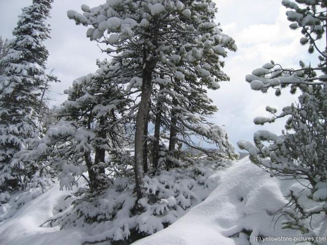 Snow covered ground and trees in Yellowstone.jpg