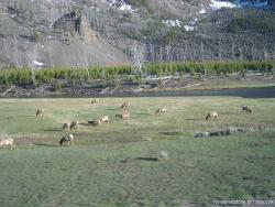 Grazing animals near the Old Faithful in Yellowstone.jpg