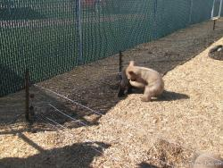 Bear cubs playing at Yellowstone Bear World.jpg