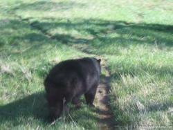 Big black bear at Yellowstone Bear World.jpg