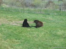 Black and brown bear at Yellowstone Bear World.jpg