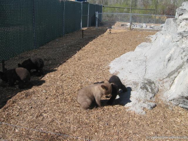 Yellowstone Bear World Baby bears.jpg
