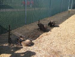 Playing bear cubs at Yellowstone Bear World.jpg