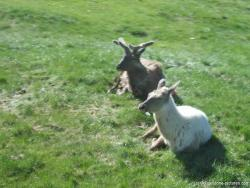 Reindeer and Albino Reindeer at Yellowstone Bear World.jpg