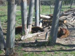Resting brown bears at Brown small at Yellowstone Bear World.jpg