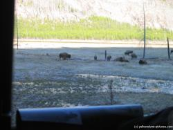Buffalos next to road on the way into Yellowstone Park.jpg