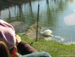 Swan at Brown small at Yellowstone Bear World.jpg