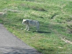 Wolf at Brown small at Yellowstone Bear World.jpg