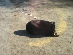 Black bear eating at Yellowstone Bear World.jpg