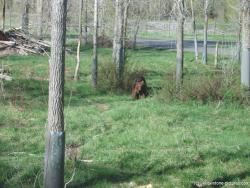 Brown bear at Yellowstone Bear World.jpg