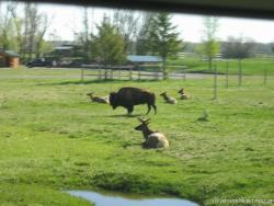 Buffalo and Reindeer at Yellowstone Bear World.jpg