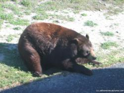 Chubby black bear at Yellowstone Bear World.jpg