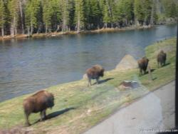 Buffalos right next to road as viewed from tour bus into Yellowstone National Park.jpg