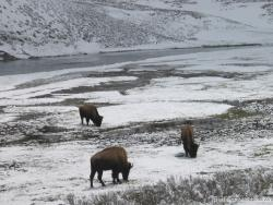 Buffalos eating in Yellowstone.jpg