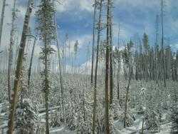 Snow covered trees in Yellowstone.jpg